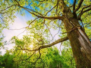 tips to prune an oak tree deland