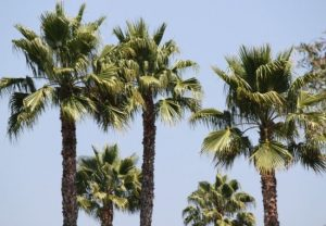 Palm Tree Trimming Tips DeLand