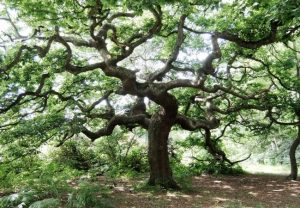 Different Types of Oak Trees DeLand